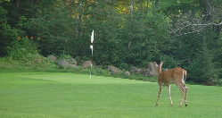 Teal Lake Golf - deer on hole 2
